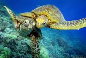 черепахи Доминикана