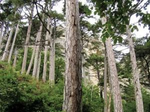 Крымский лес. Алушта.